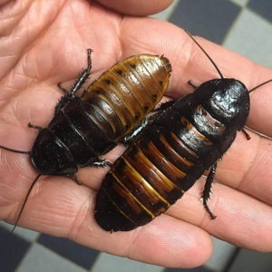 Sexed Pair Of Madagascar Hissing Cockroaches