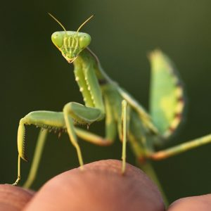 Live Praying Mantis Pet 1